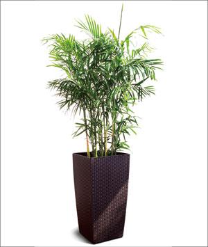 夏威夷椰子盆栽 大型植物 室內凈化空氣吸甲醛盆景觀賞植物